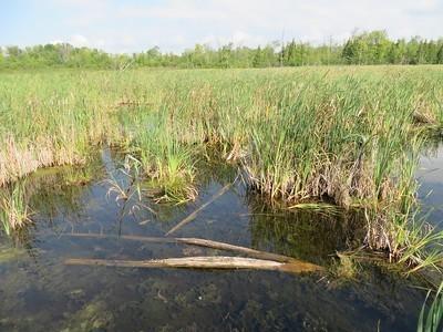 Un des rares milieux humides restants à proximité de Montréal, à l'Île Bizard. Crédit photo: Gilles Douaire
